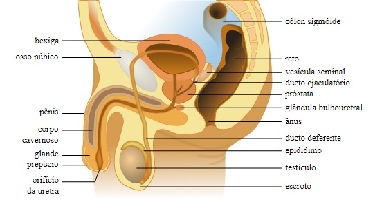 Anatomia reprodutiva masculina
